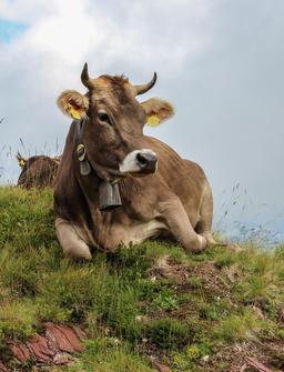Vache suisse. Source : http://data.abuledu.org/URI/5461e0ba-vache-suisse