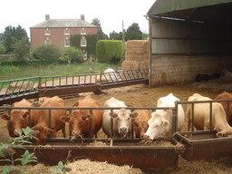 Vaches dans un élevage. Source : http://data.abuledu.org/URI/50301ce5-vaches-dans-un-elevage