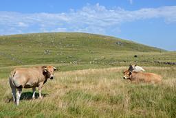 Vaches sur le Plateau de l'Aubrac. Source : http://data.abuledu.org/URI/555b1f51-vaches-sur-le-plateau-de-l-aubrac