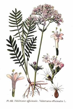 Valériane officinale. Source : http://data.abuledu.org/URI/5050da9a-valeriane-officinale