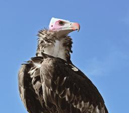 Vautour à tête blanche. Source : http://data.abuledu.org/URI/564cf2f9-vautour-a-tete-blanche