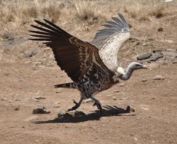 Vautour de Rüppel à Nairobi. Source : http://data.abuledu.org/URI/52d19ab2-vautour-de-ruppel-a-nairobi