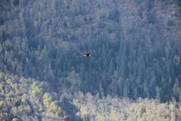 Vautour en vol dans les Pyrénées. Source : http://data.abuledu.org/URI/54b86064-vautour-en-vol-dans-les-pyrenees