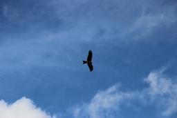 Vautour en vol dans les Pyrénées. Source : http://data.abuledu.org/URI/54b860b2-vautour-en-vol-dans-les-pyrenees