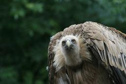Vautour fauve. Source : http://data.abuledu.org/URI/50393d32-vautour-fauve