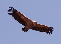Vautour planant. Source : http://data.abuledu.org/URI/50393cbc-vautour-planant