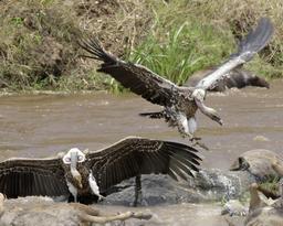 Vautours de Rüppel en bord de rivière. Source : http://data.abuledu.org/URI/52d19c3e-vautours-de-ruppel-en-bord-de-riviere