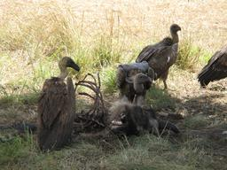 Vautours mangeant une carcasse. Source : http://data.abuledu.org/URI/50393d5a-vautours-mangeant-une-carcasse