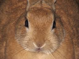 Vibrisses de lapin domestique. Source : http://data.abuledu.org/URI/535ae573-vibrisses-de-lapin-domestique