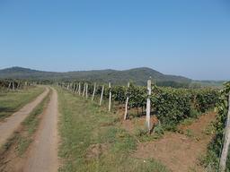 Vignes et collines en Hongrie. Source : http://data.abuledu.org/URI/56c3120e-vignes-et-collines-en-hongrie