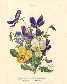 Violette cornue. Source : http://data.abuledu.org/URI/53adcb3a-violette-cornue