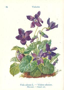 Violette odorante. Source : http://data.abuledu.org/URI/53adcba7-violette-odorante