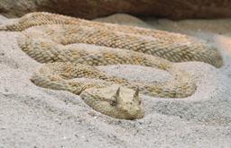 Vipère à cornes du désert. Source : http://data.abuledu.org/URI/56d5ecb2-vipere-a-cornes-du-desert