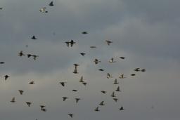 Vol de grives litornes en janvier. Source : http://data.abuledu.org/URI/5173fa40-vol-de-grives-litornes-en-janvier