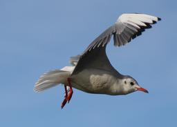 Vol de mouette. Source : http://data.abuledu.org/URI/554bbc03-vol-de-mouette