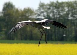 Vol plané de cigogne au-dessus d'un champ. Source : http://data.abuledu.org/URI/53034deb-vol-plane-de-cigogne-au-dessus-d-un-champ