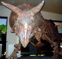Vue frontale de Triceratops. Source : http://data.abuledu.org/URI/54b2e3ab-vue-frontale-de-triceratops