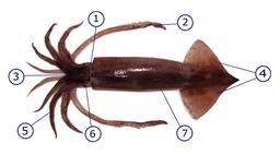Vue ventrale d'un calamar. Source : http://data.abuledu.org/URI/52d4944b-vue-ventrale-d-un-calamar
