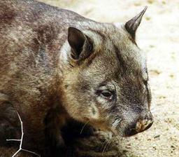 Wombat australien. Source : http://data.abuledu.org/URI/50e263f9-wombat-australien