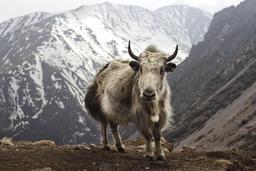 Yak sauvage. Source : http://data.abuledu.org/URI/516c720b-yak-sauvage