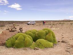 Yareta pour les lamas. Source : http://data.abuledu.org/URI/5109a131-yareta-pour-les-lamas