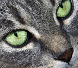 Yeux de chat. Source : http://data.abuledu.org/URI/50394bc6-yeux-de-chat