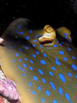 Yeux de raie pastenague à taches bleues. Source : http://data.abuledu.org/URI/552d7724-yeux-de-raie-pastenague-a-taches-bleues