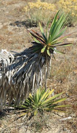 Yucca au Mimbeau - 01. Source : http://data.abuledu.org/URI/55a7965f-yucca-au-mimbeau-01