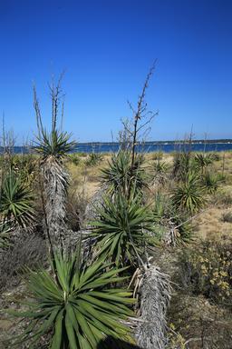Yuccas au Mimbeau. Source : http://data.abuledu.org/URI/55a79d93-yuccas-au-mimbeau