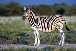 Zèbre des plaines en Namibie. Source : http://data.abuledu.org/URI/55063f03-zebre-des-plaines-en-namibie