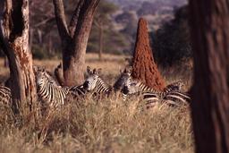 Zèbres et termitière. Source : http://data.abuledu.org/URI/536018d8-zebres-et-termitiere