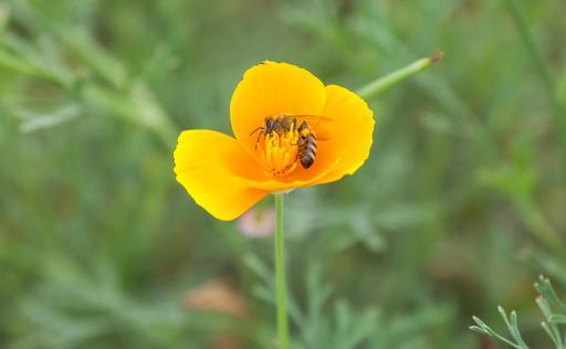 Abeille pollinisant un pavot
