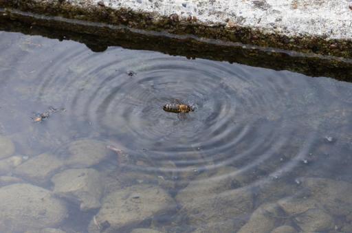 Abeille tombée dans l'eau