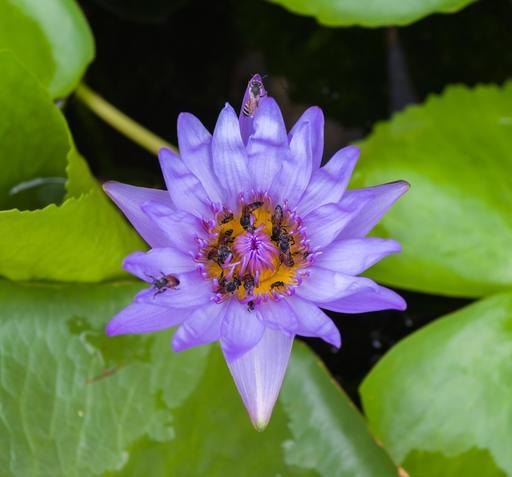 Abeilles sur un lotus des Indes