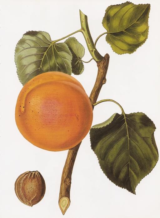 Abricot - Illustration