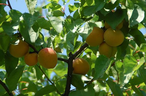 Abricotier provençal