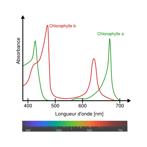 Absorption de la chlorophylle