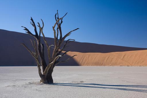 Acacia dans le désert de Namibie