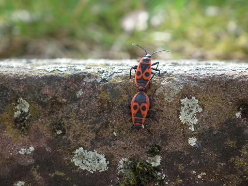 Accouplement d'insectes sur un mur