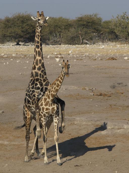 Accouplement de girafes