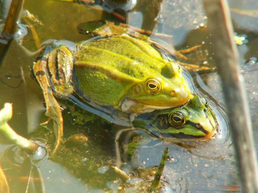 Accouplement de grenouilles vertes