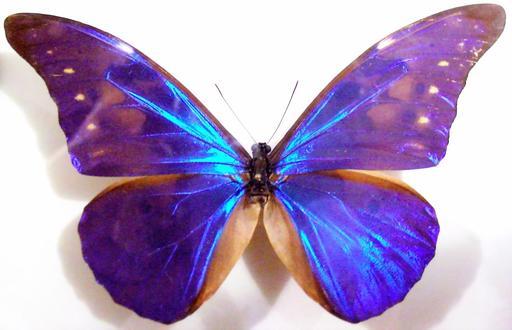Ailes bleues de papillon