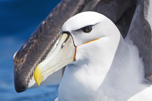 Albatros en Tasmanie