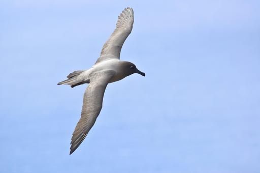 Albatros en vol aux îles Kerguelen