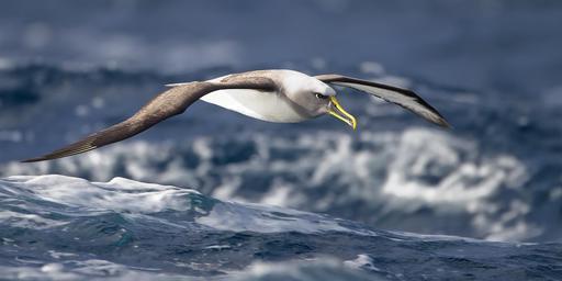 Albatros en vol en Tasmanie