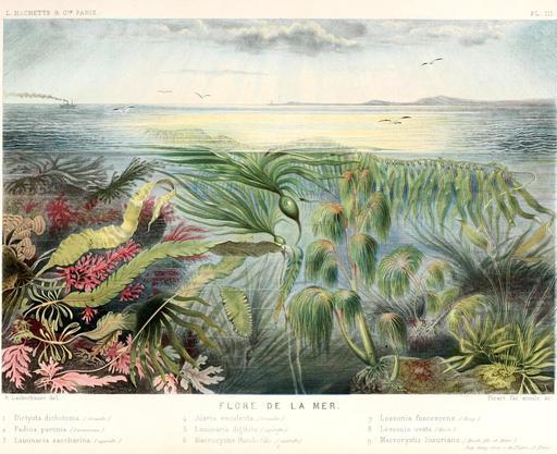 Algues brunes en 1866