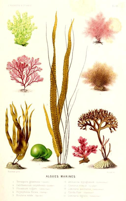 Algues marines en 1866