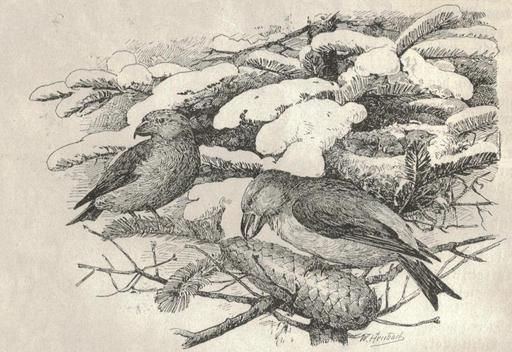 Alimentation hivernale du bec croisé des sapins