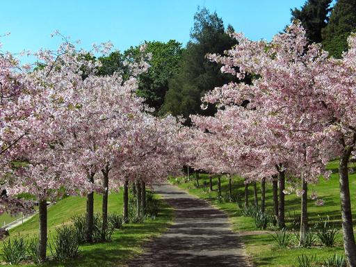 Allée de cerisiers en fleurs