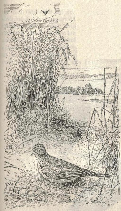 Alouette des champs au nid